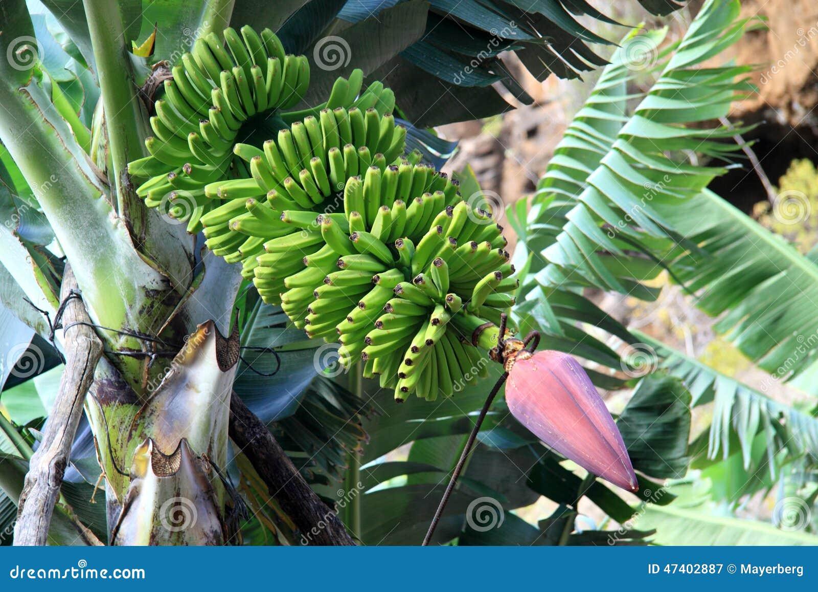 Gröna bananer med en blomma