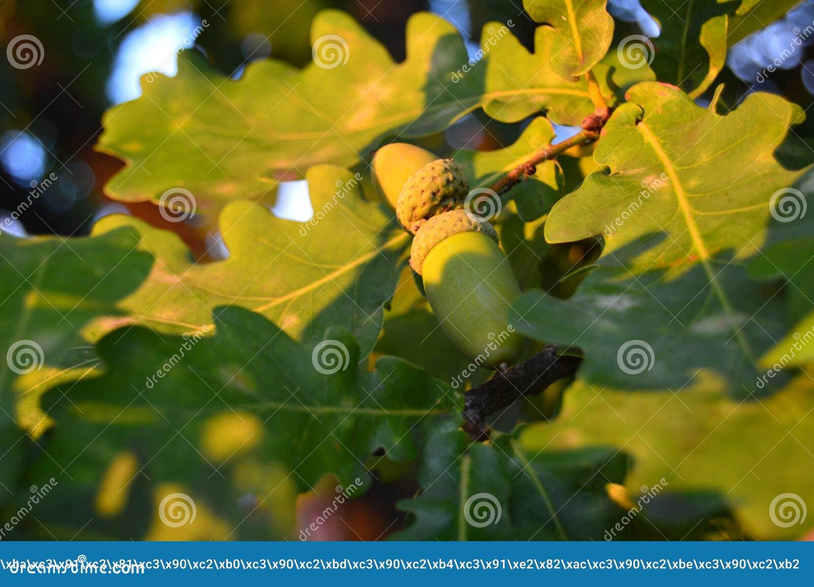 Gröna ekollonar som växer på en ek i, parkerar på våren