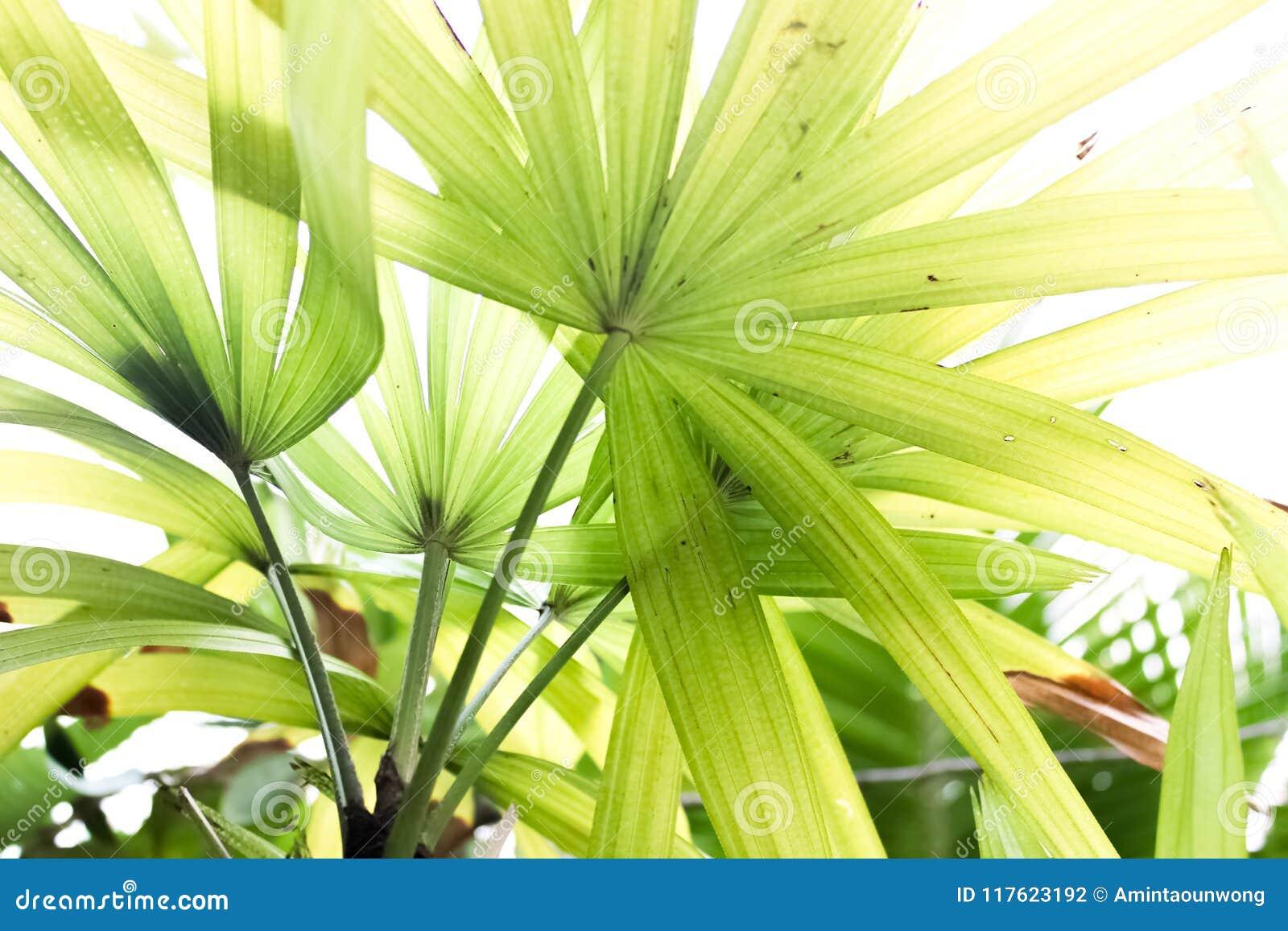 Gröna fanpalmblad stänger sig upp
