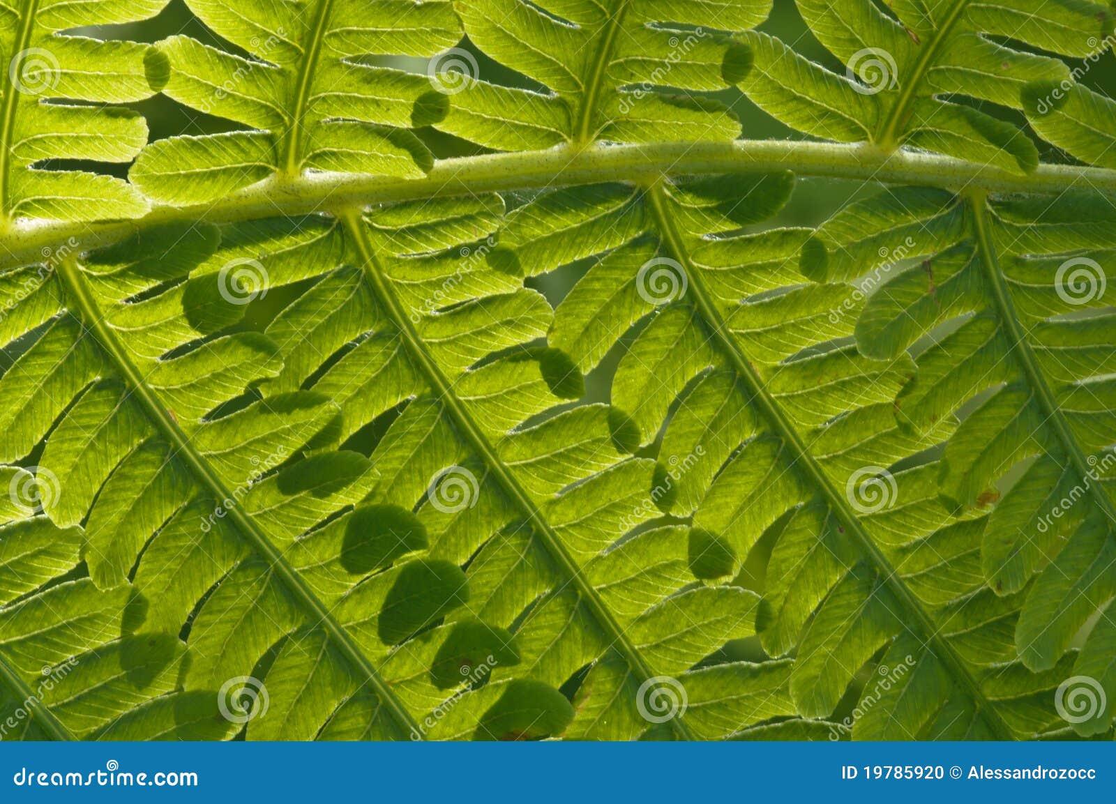 Gröna gruppleaves för fern