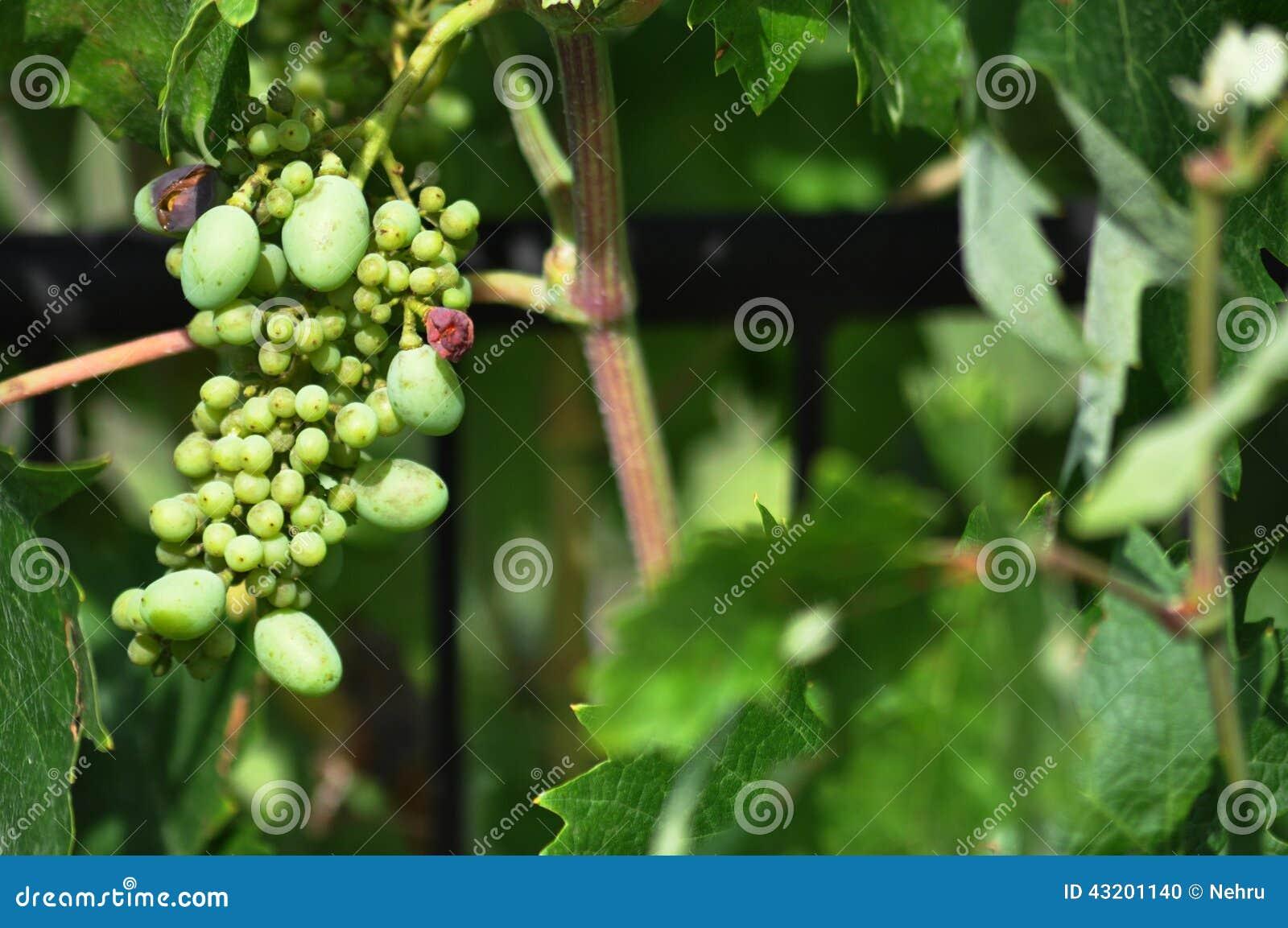 Download Gröna omogna druvor arkivfoto. Bild av frukt, vine, vingård - 43201140