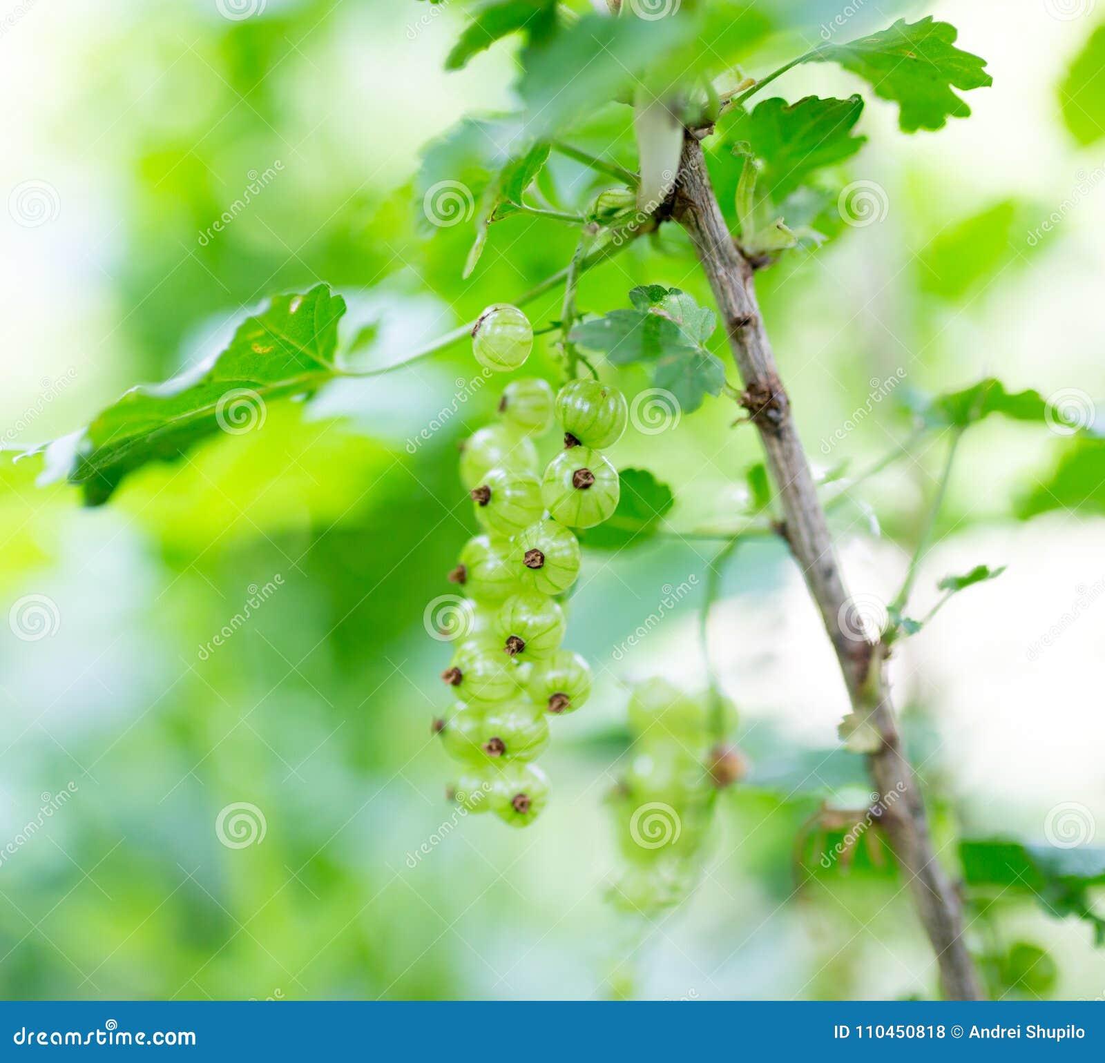 Gröna omogna vinbär i trädgården