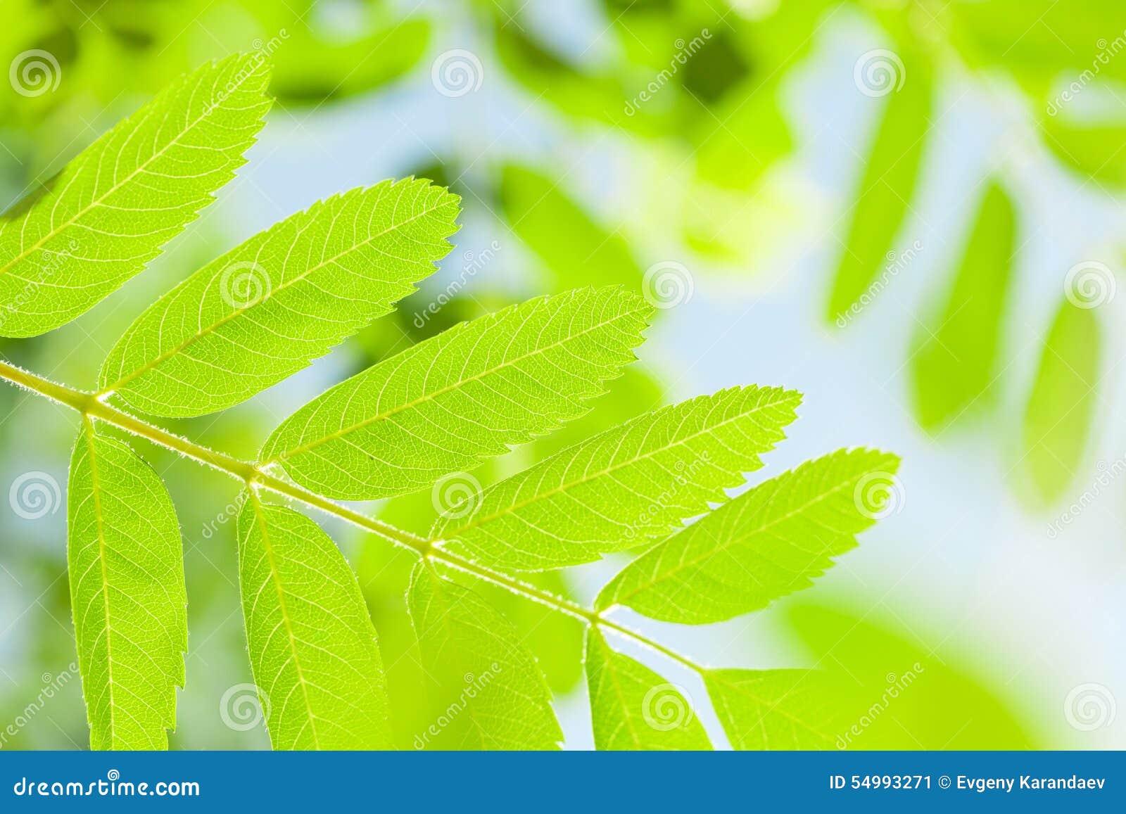 Gröna rönnsidor