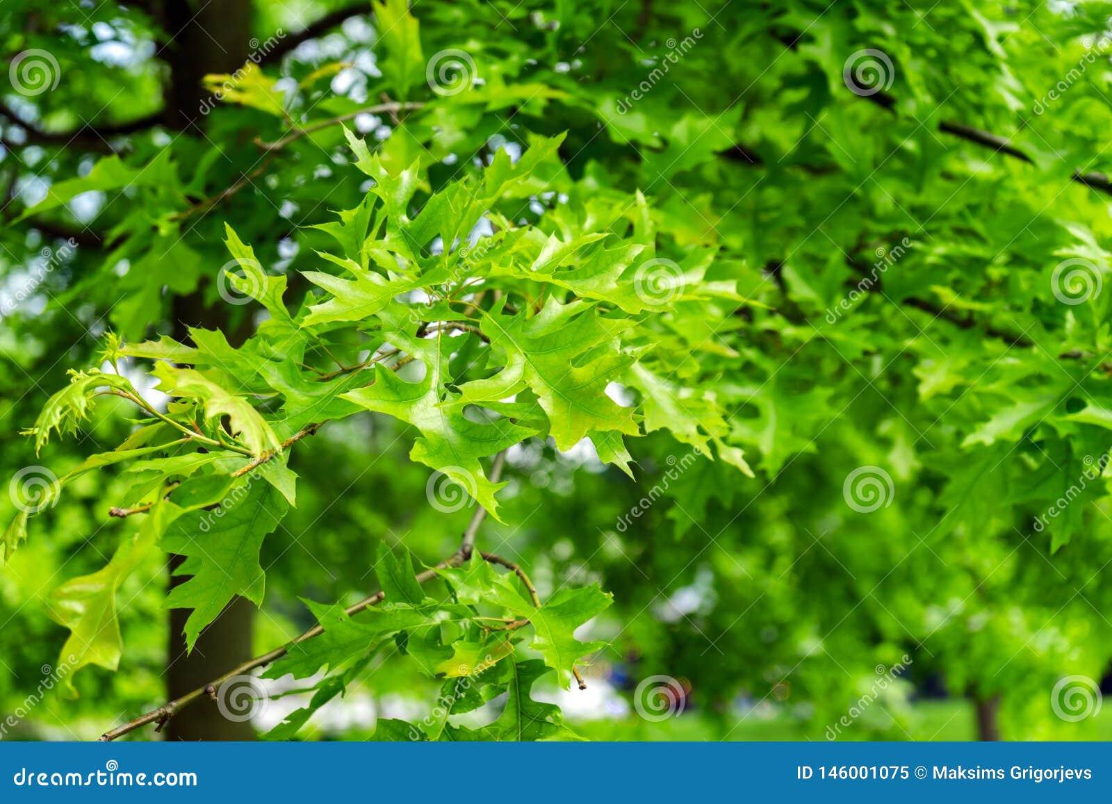 Gröna sidor av att landskap trädet, Quercuspalustris, stiftet eller den spanska eken för träsk parkerar in