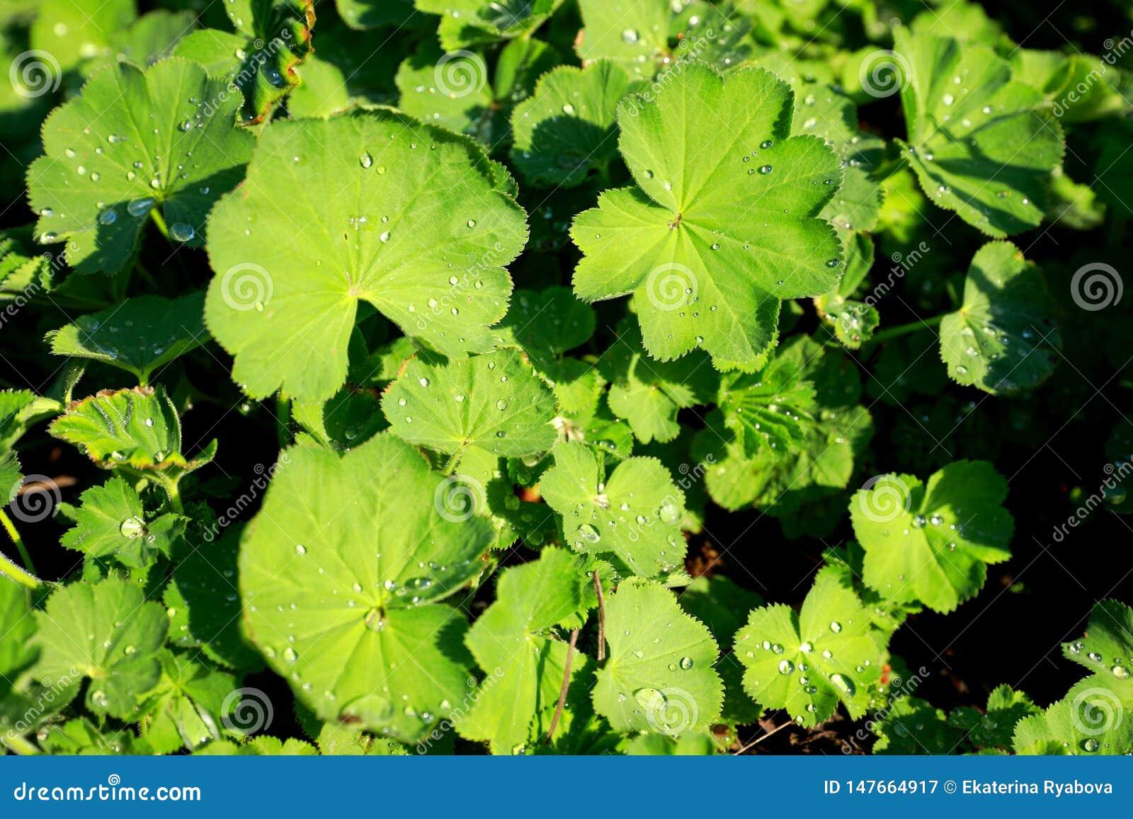 Gröna sidor av lady'sansvaret eller alchemilla