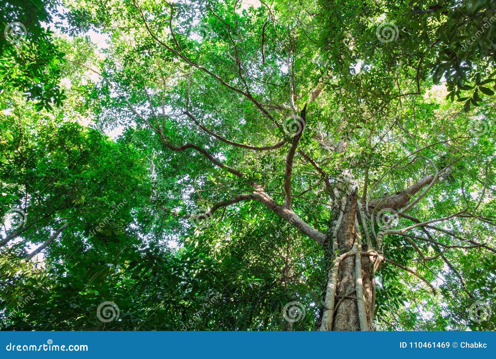 Gröna skogträd i natur