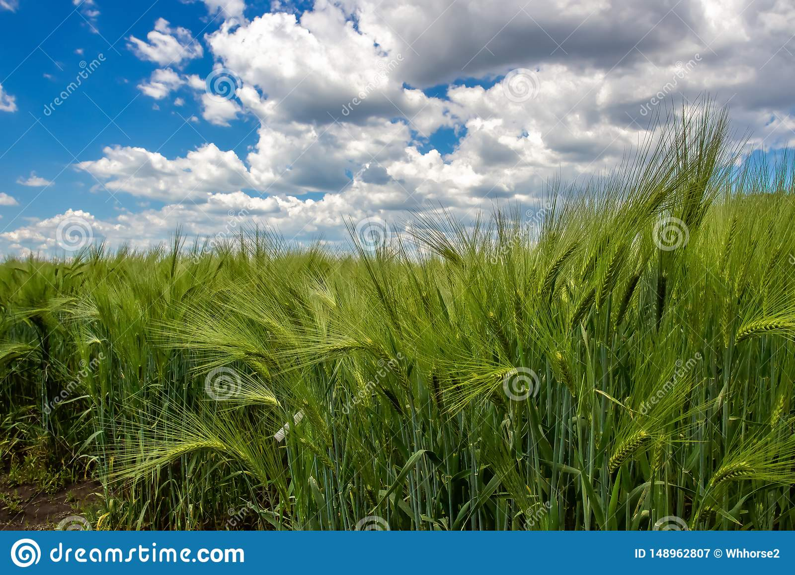 Gr?na spikelets av vete mot en bakgrund av bl? himmel och stackmolnmoln