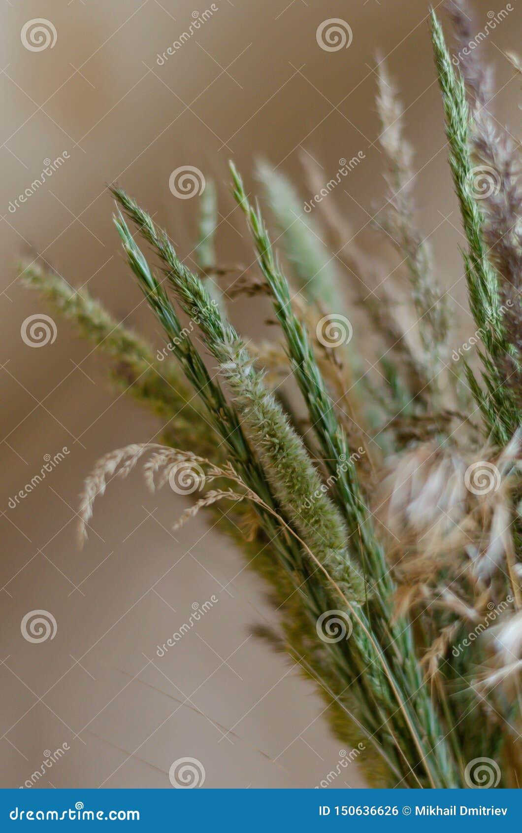 Gröna stammar och öron av örter som är stora på en mjuk bakgrund Bakgrund i varma dämpade toner av lösa torkade örter Samling av