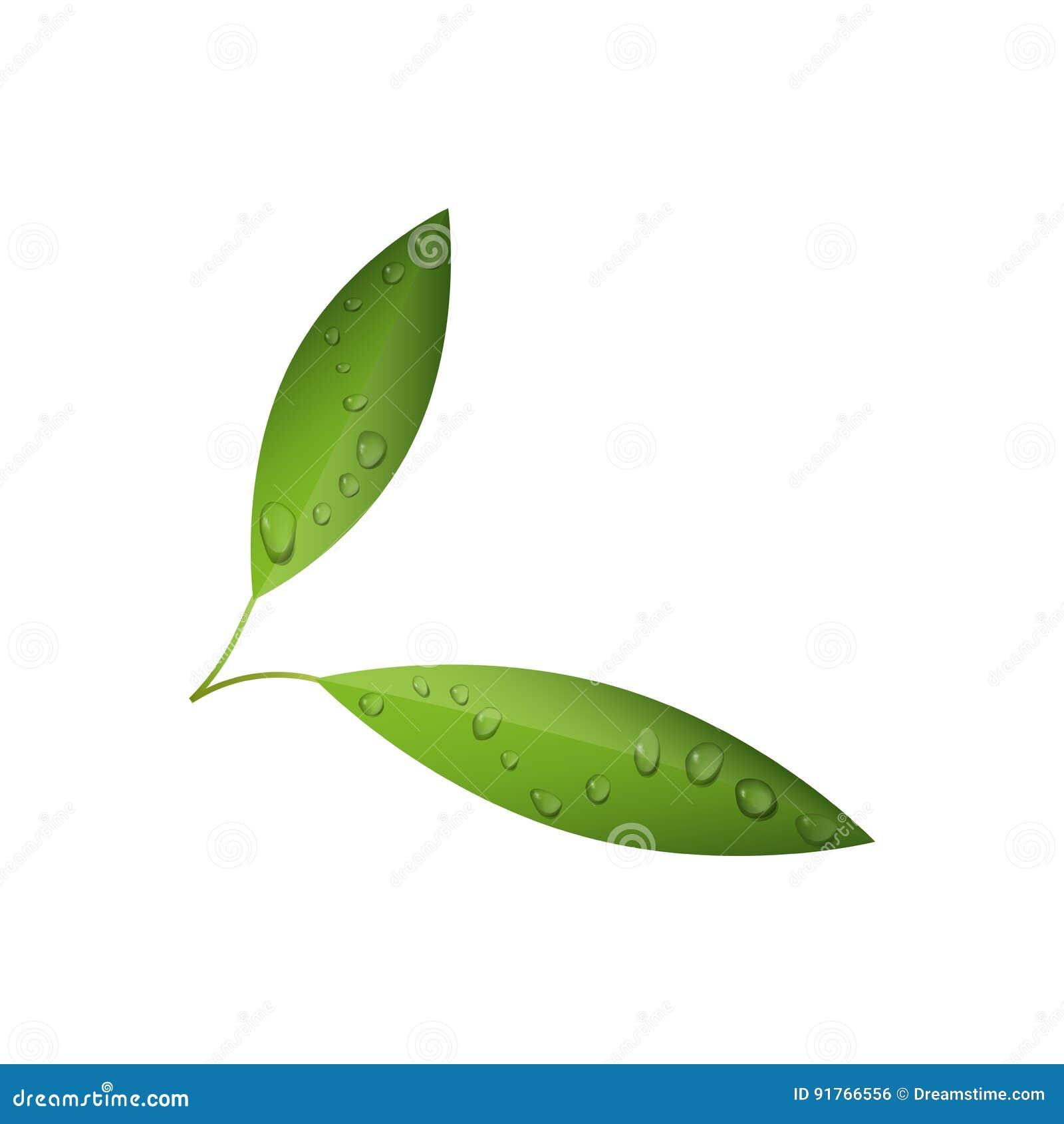 Gröna teblad med vatten tappar den isolerade vektorn