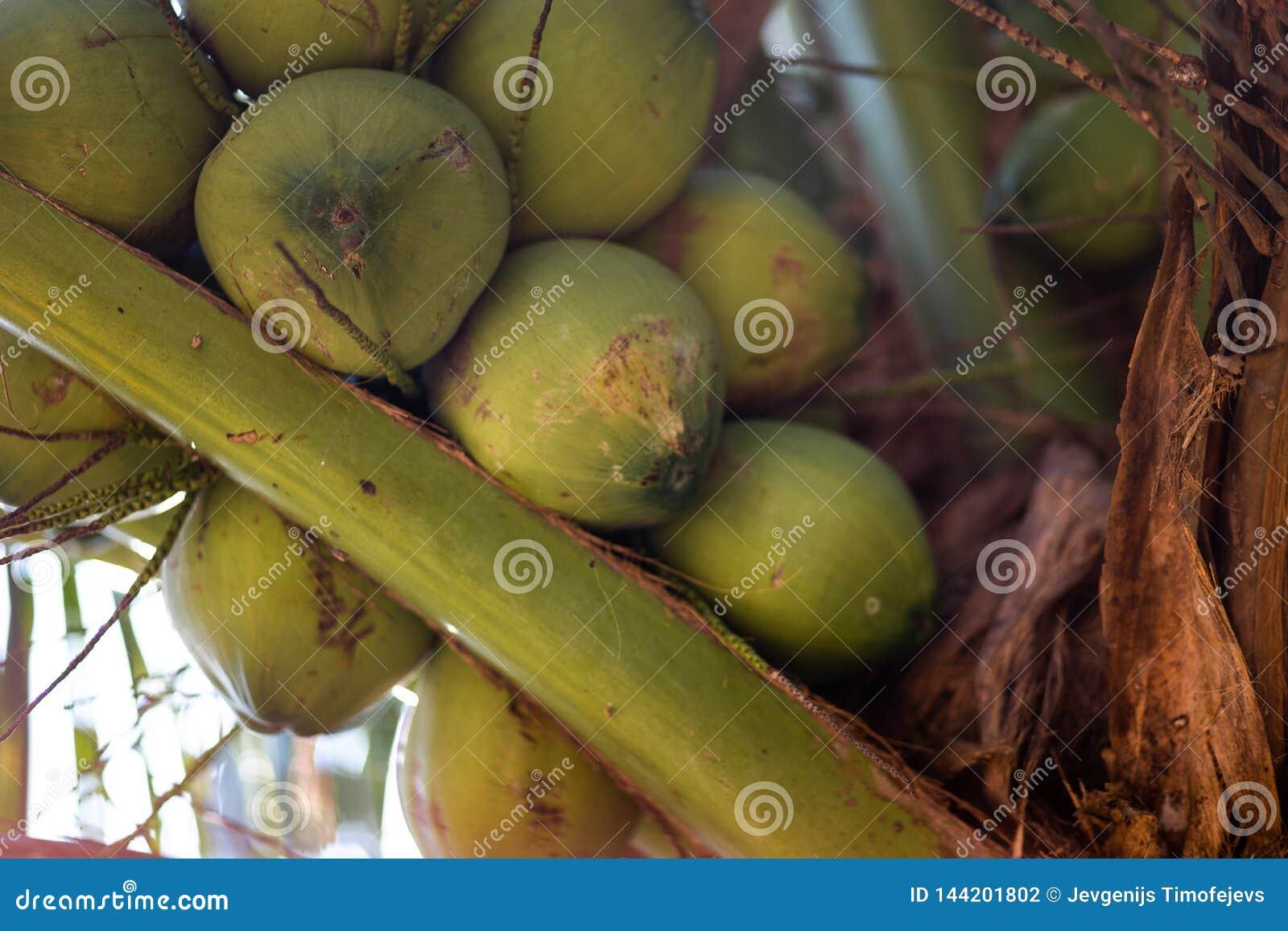 Gröna unga kokosnötter på en kokospalm - Ko Chang, Thailand, April 2018