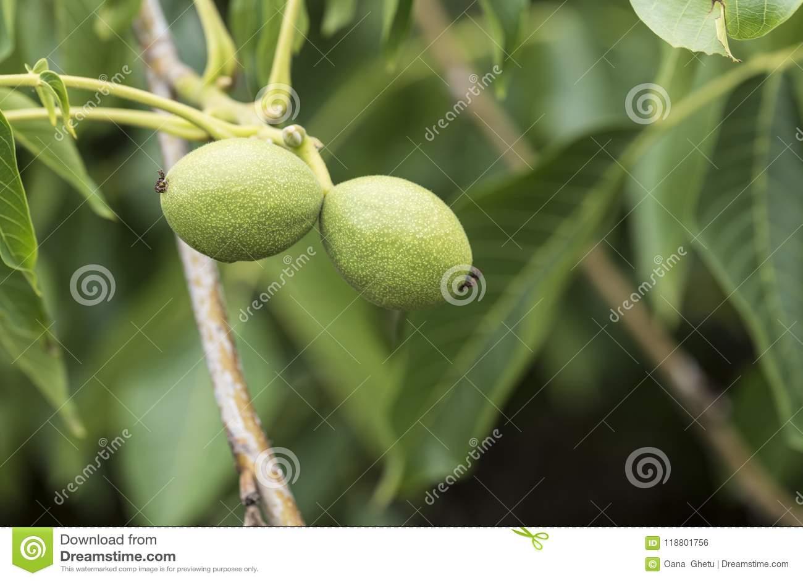 Gröna valnötter i träd