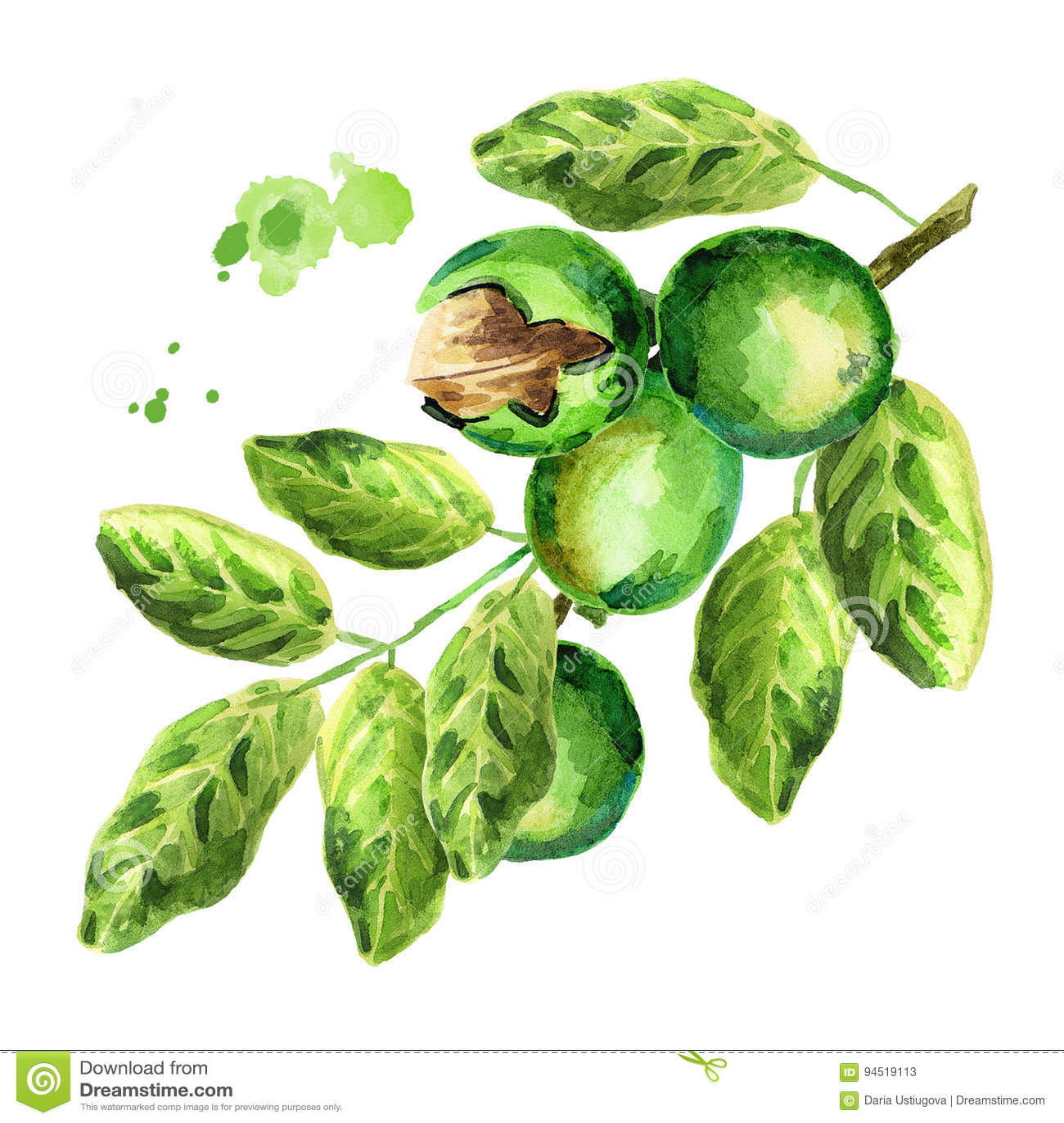 Gröna valnötter kli vattenfärg