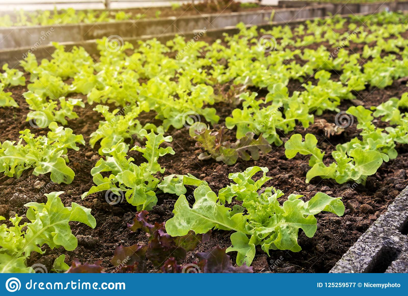 Grönsaker brukar att plantera inomhus vid icke-giftet som är organiskt med beauti