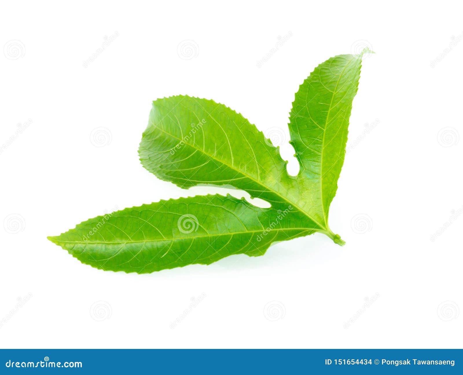 Grönt blad för passionfrukt som isoleras på vit bakgrund