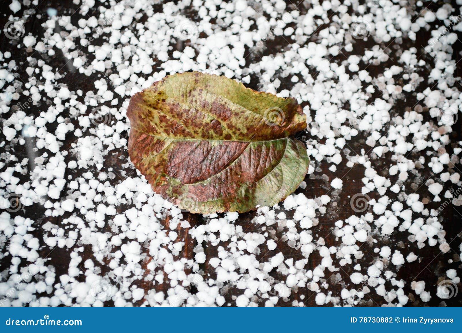 Grönt blad på den första snön