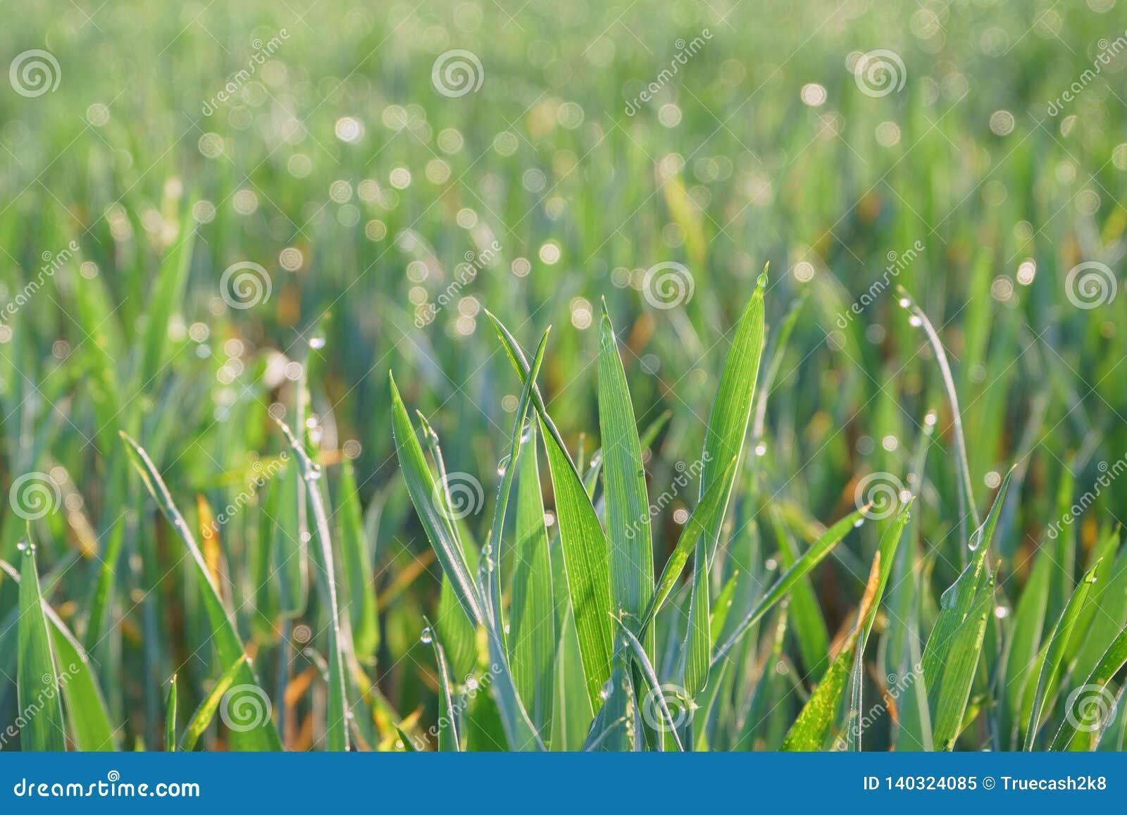 Grönt gräs med droppar av dagg på soluppgång Härlig säsong för morgonsolljusvår