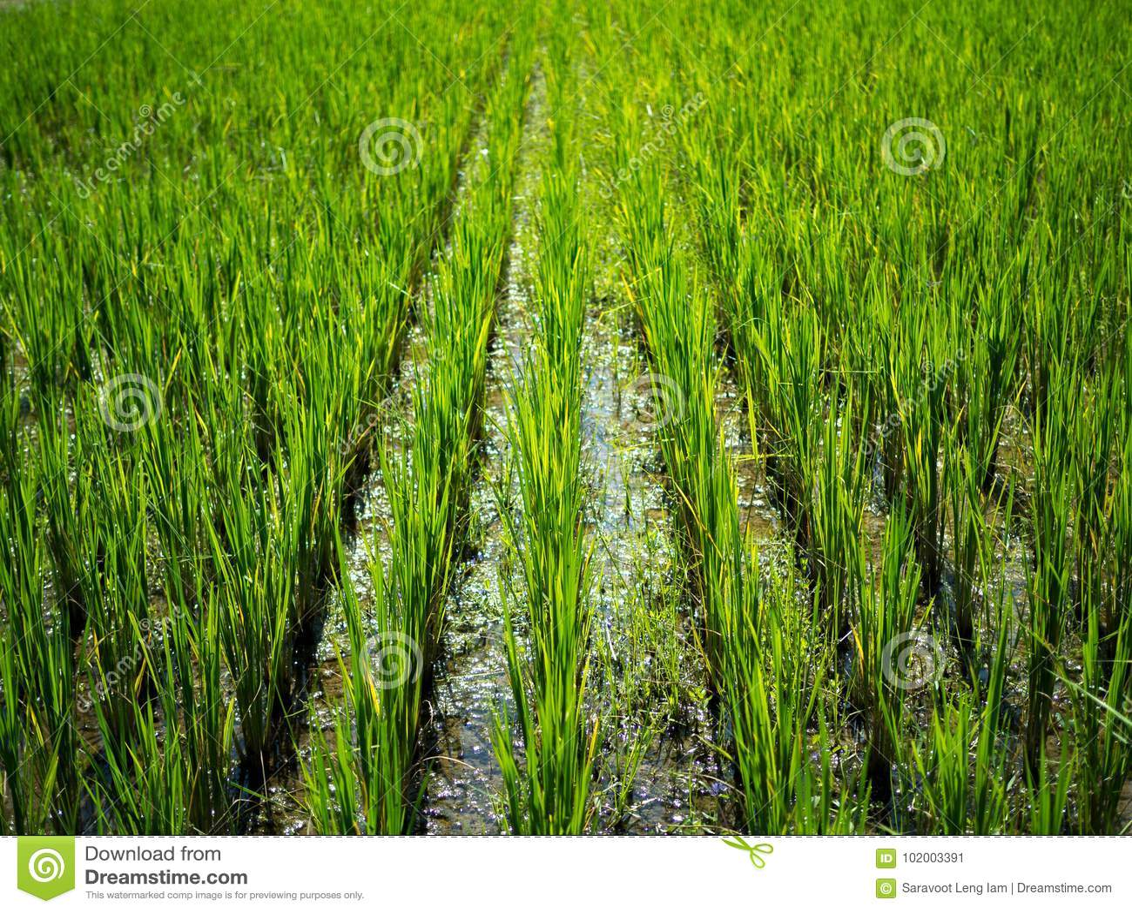 Grönt naturlandskap med irländarejasminrisfältet i Thailand