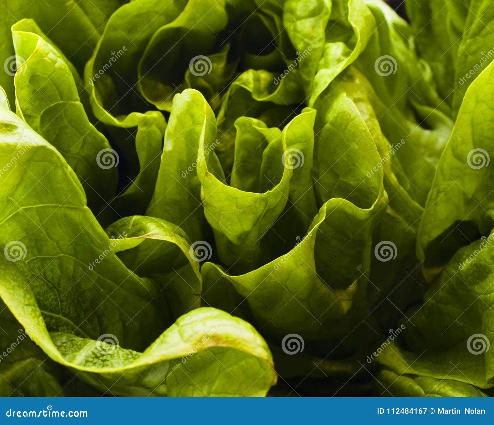 Grönt organiskt lövrikt grönsallatslut upp