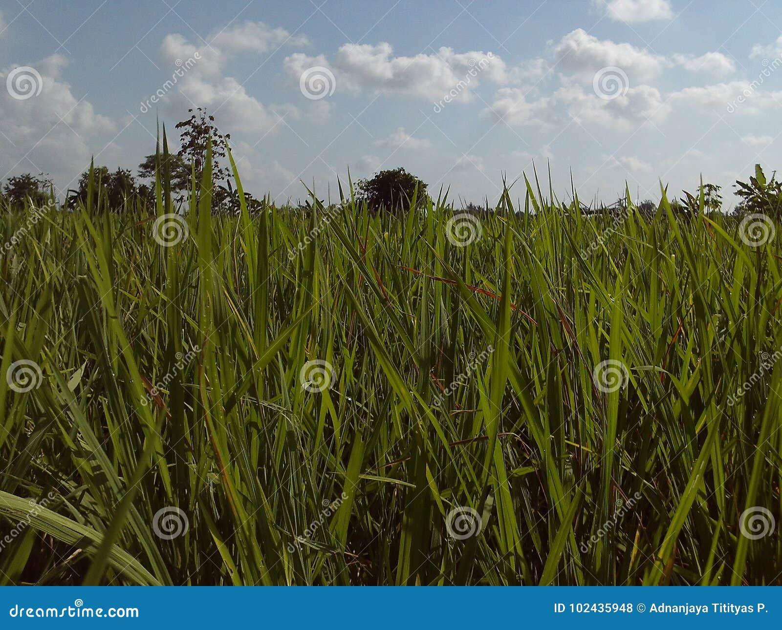 Grönt ricefieldfoto