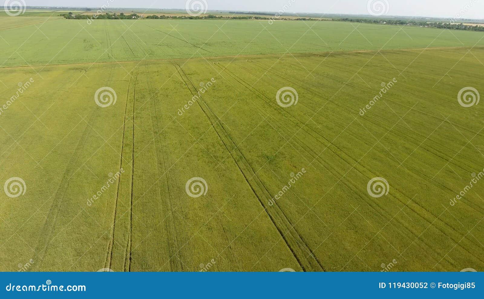 Grönt vete i fältet, bästa sikt med ett surr Textur av vetegräsplanbakgrund