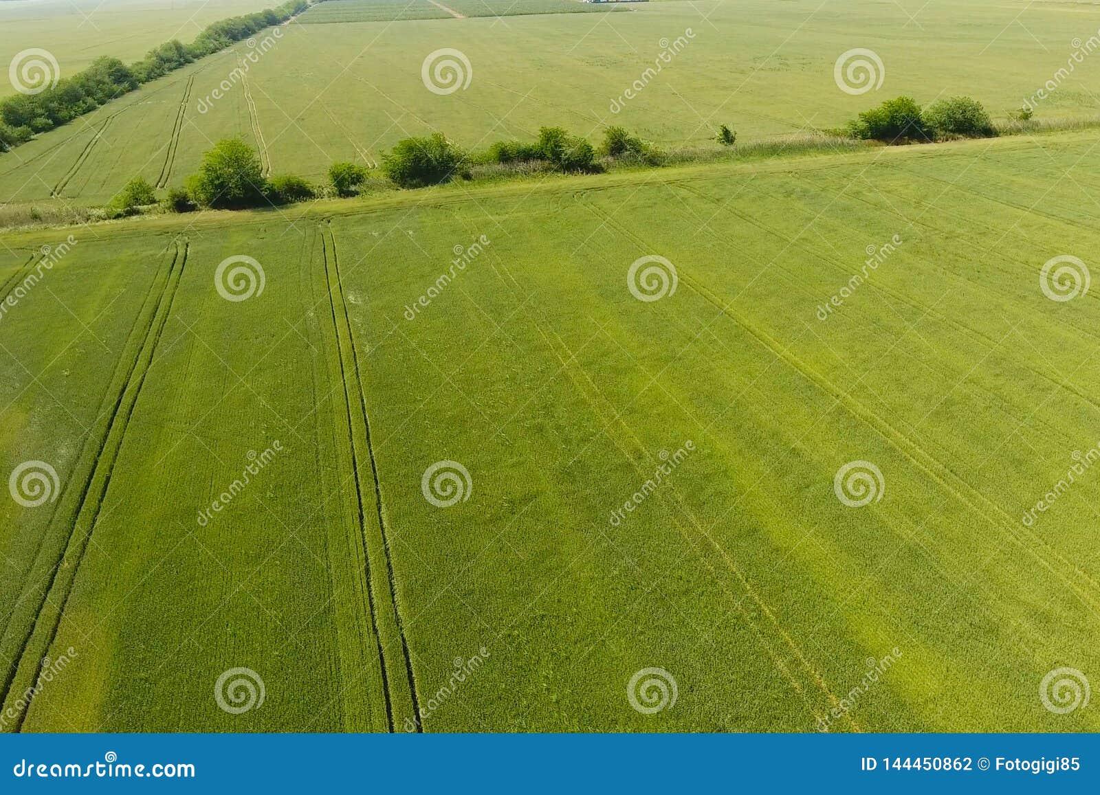 Grönt vete i fältet, bästa sikt med ett surr Textur av wheaen