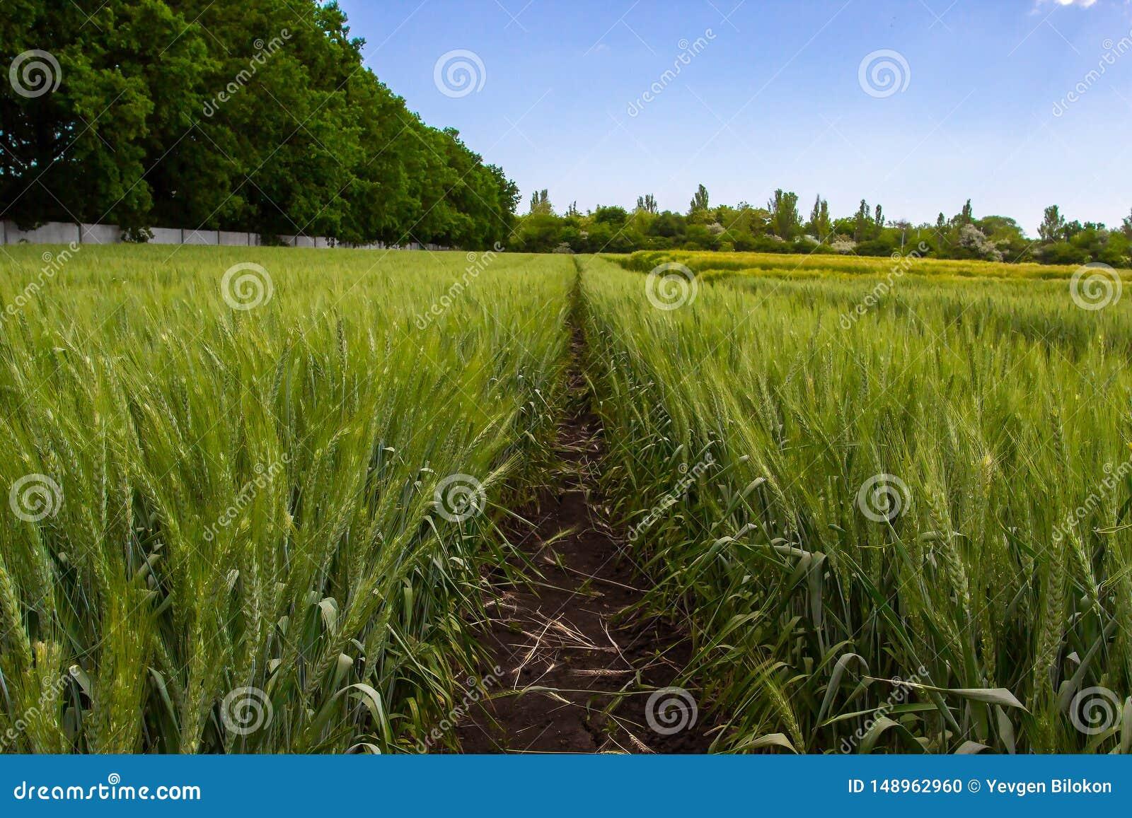 Gr?nt vetef?lt som omges av skogen under bl? himmel