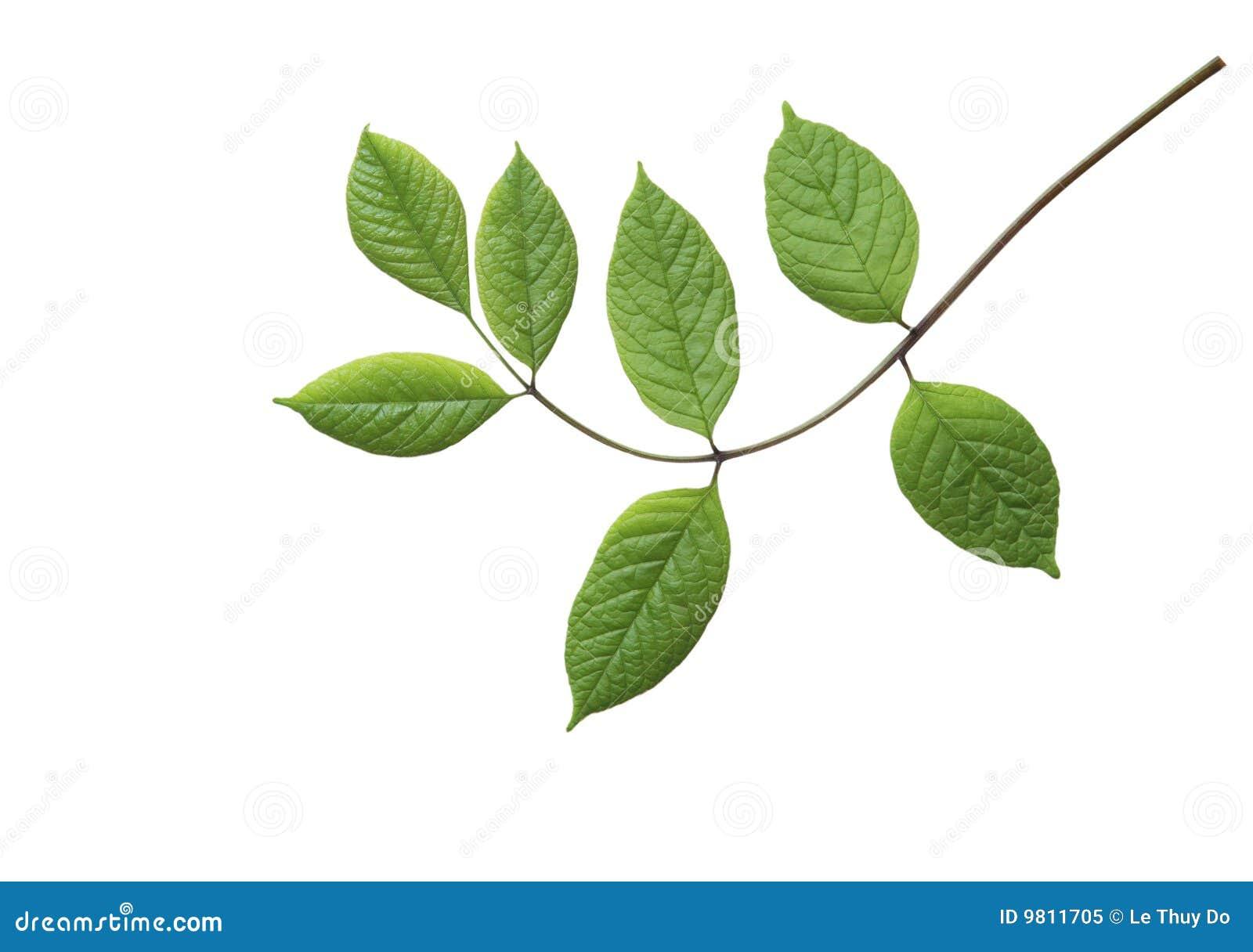 Grün-Blätter