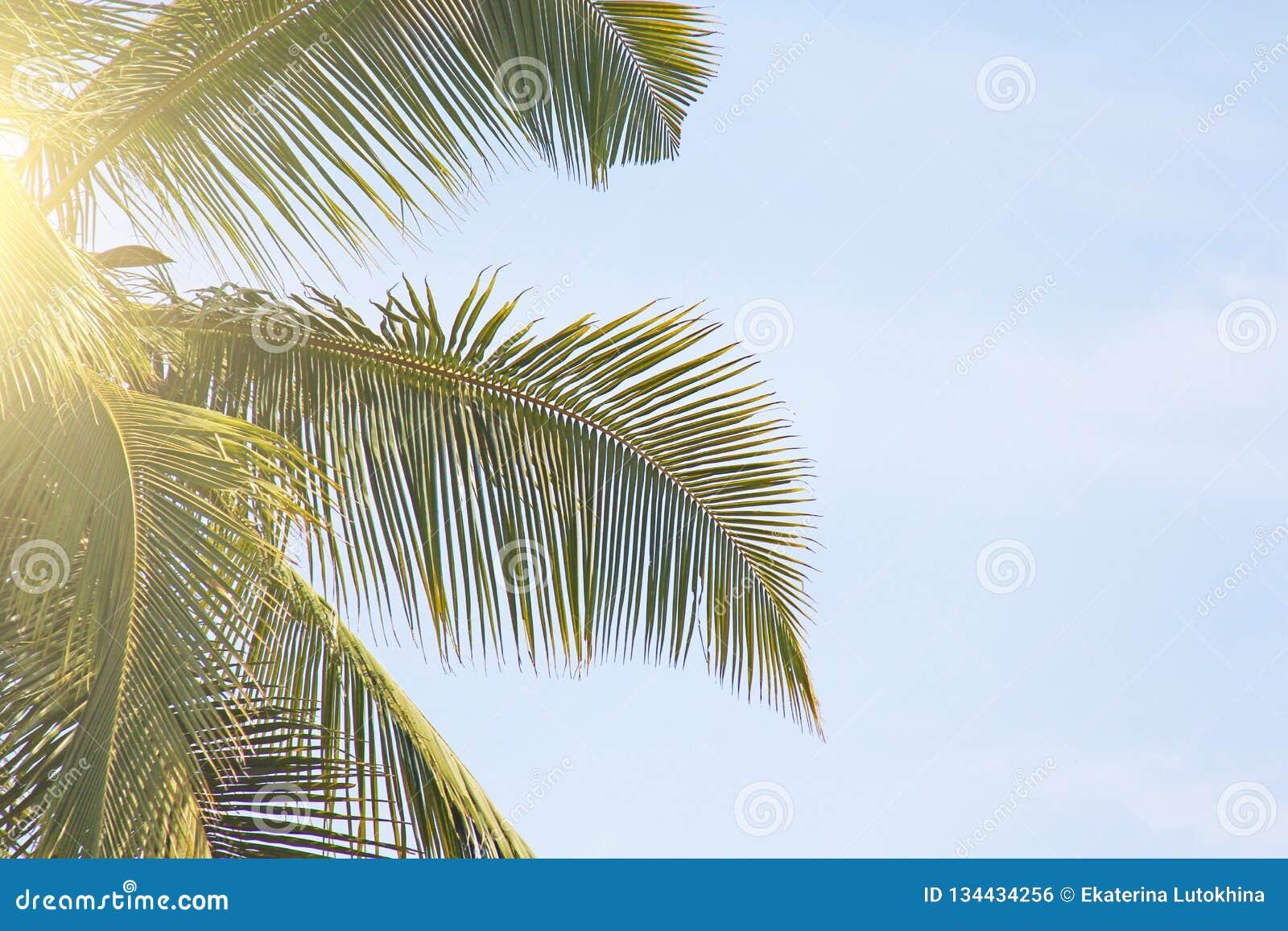 Grün-Blätter einer Palme, des blauen Himmels und der Sonne Exotischer tropischer Hintergrund Palmen in Indien, Goa