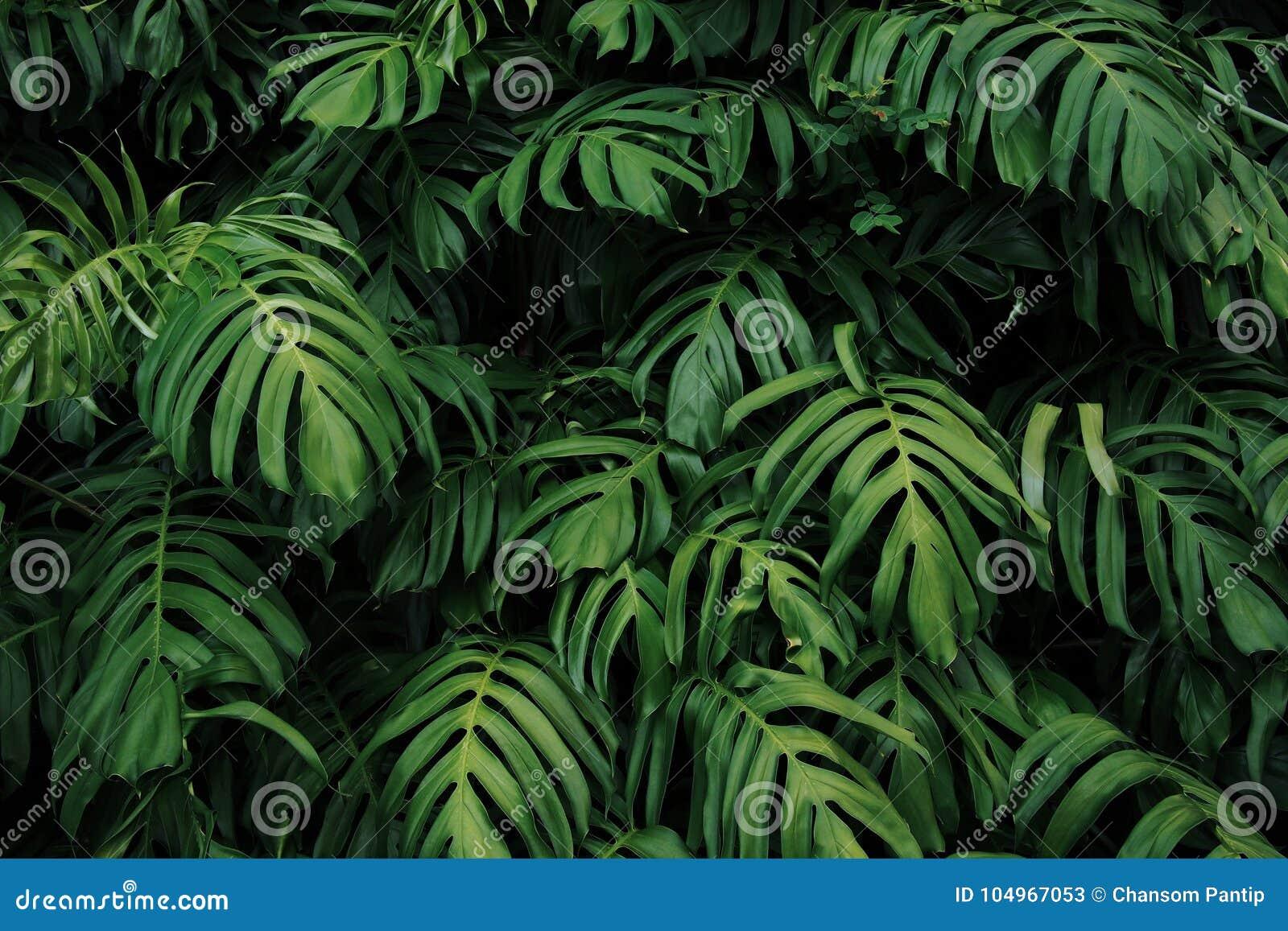 gr nbl tter von monstera philodendron pflanzen das wachsen in wildem die tropische waldanlage. Black Bedroom Furniture Sets. Home Design Ideas