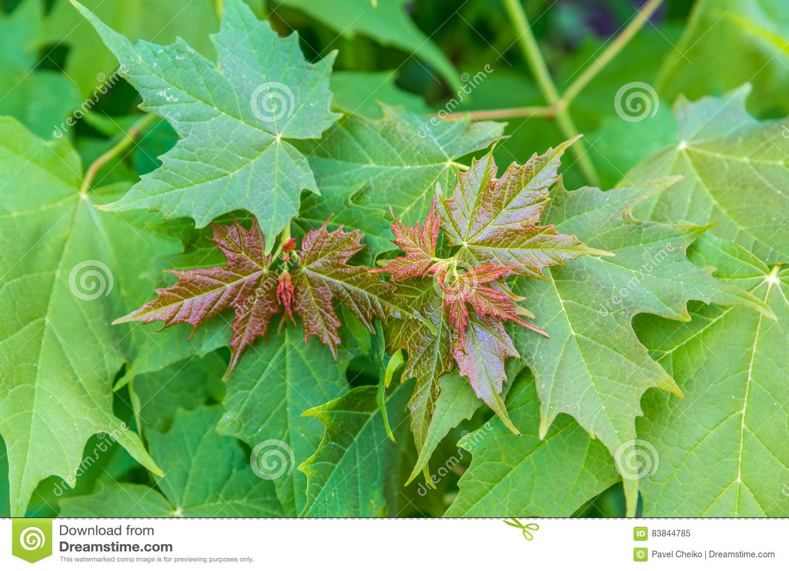 Grüne Ahornblätter