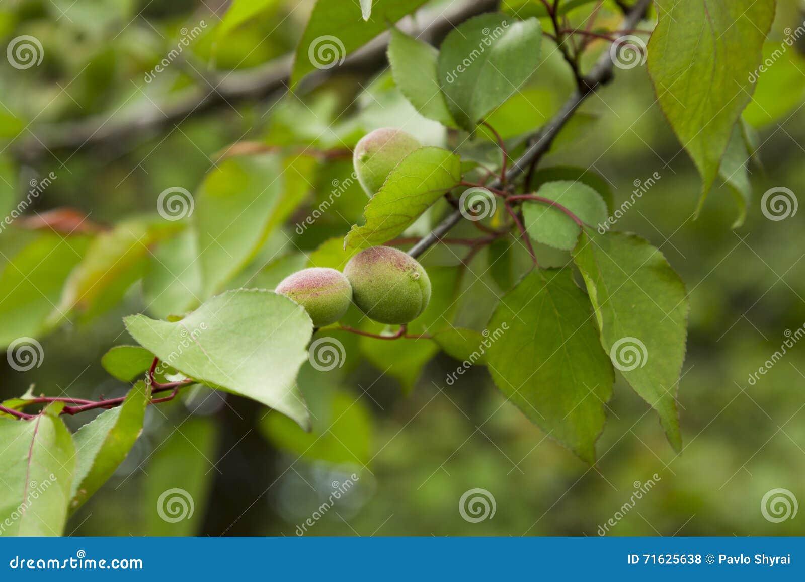 Grüne Aprikose
