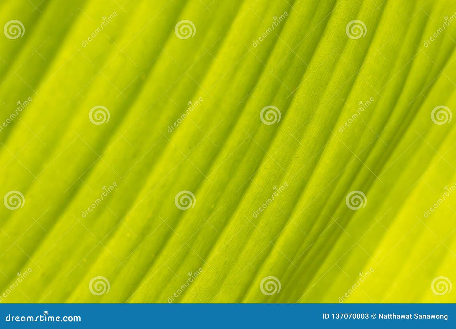Grüne Banane verlässt für Hintergrund