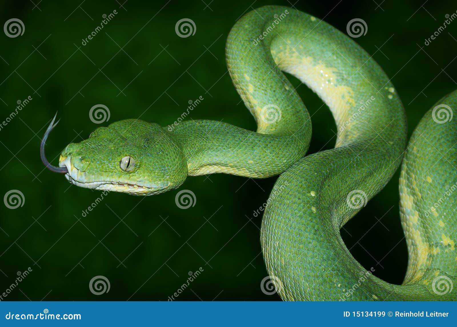 Grüne Baum-Pythonschlange