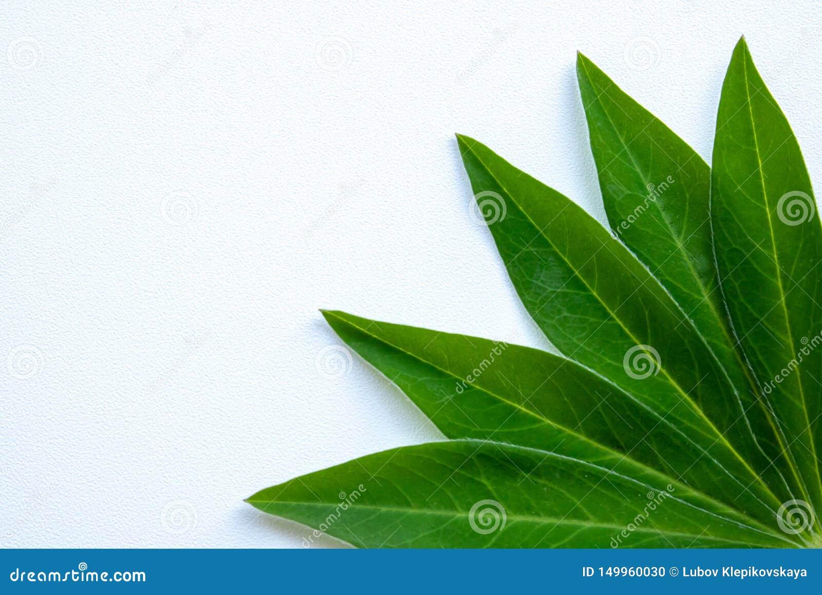 Grüne Blätter in der Ecke der weißen Hintergrundpostkarte