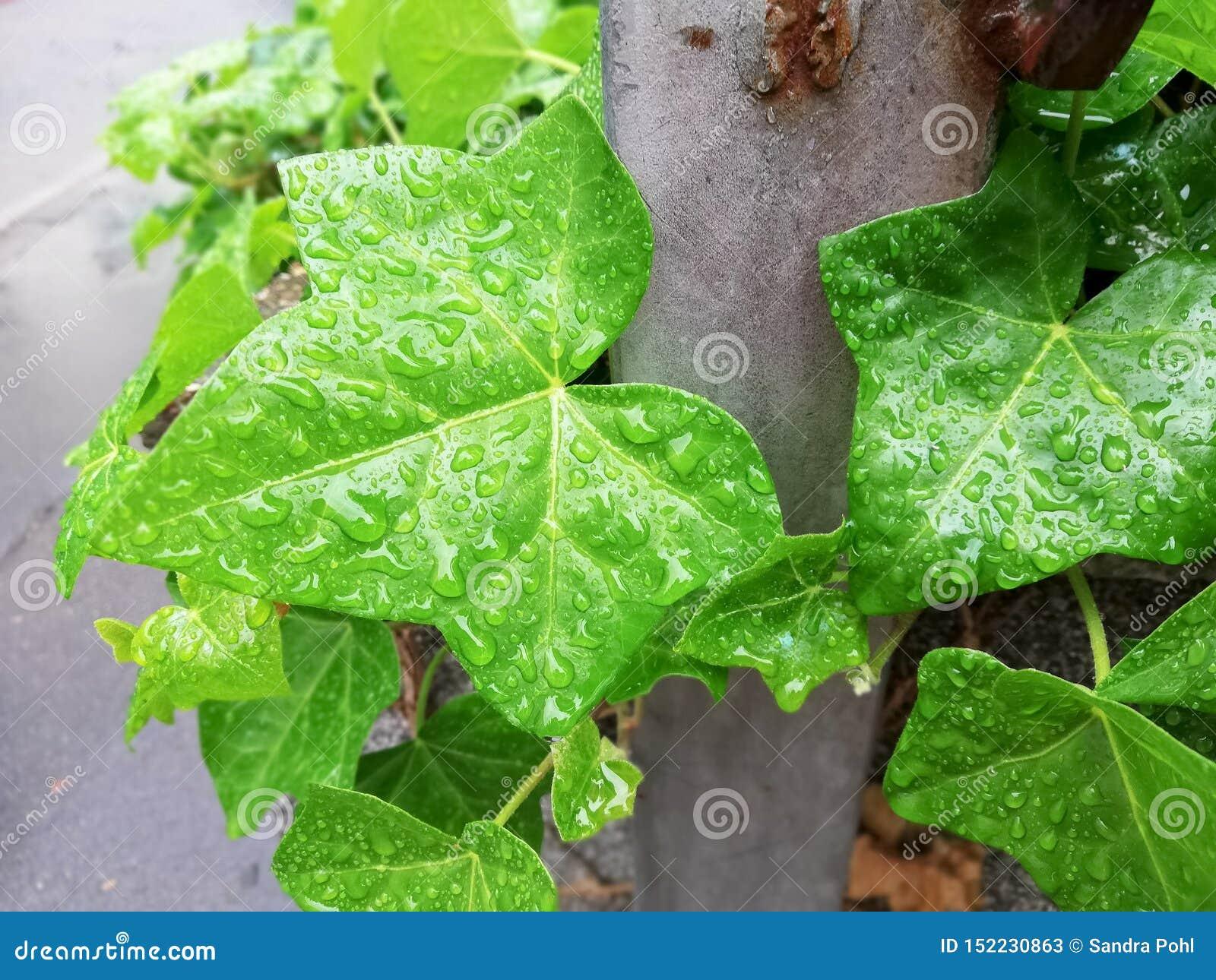 Grüne Blätter des Efeuhintergrundes