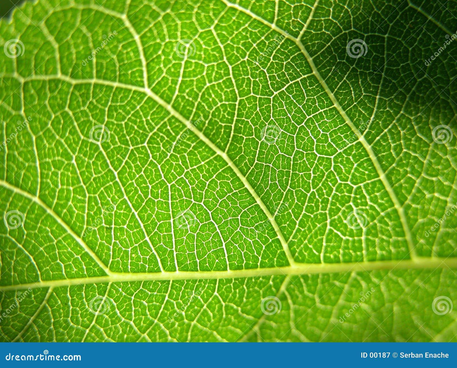 Grüne Blattnahaufnahme 2