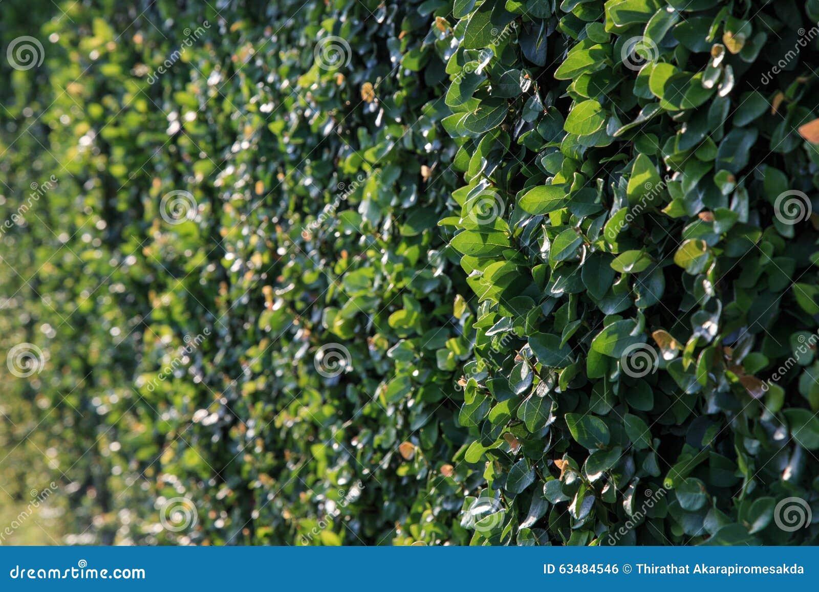 Grüne Gartenhecke Stockfoto Bild