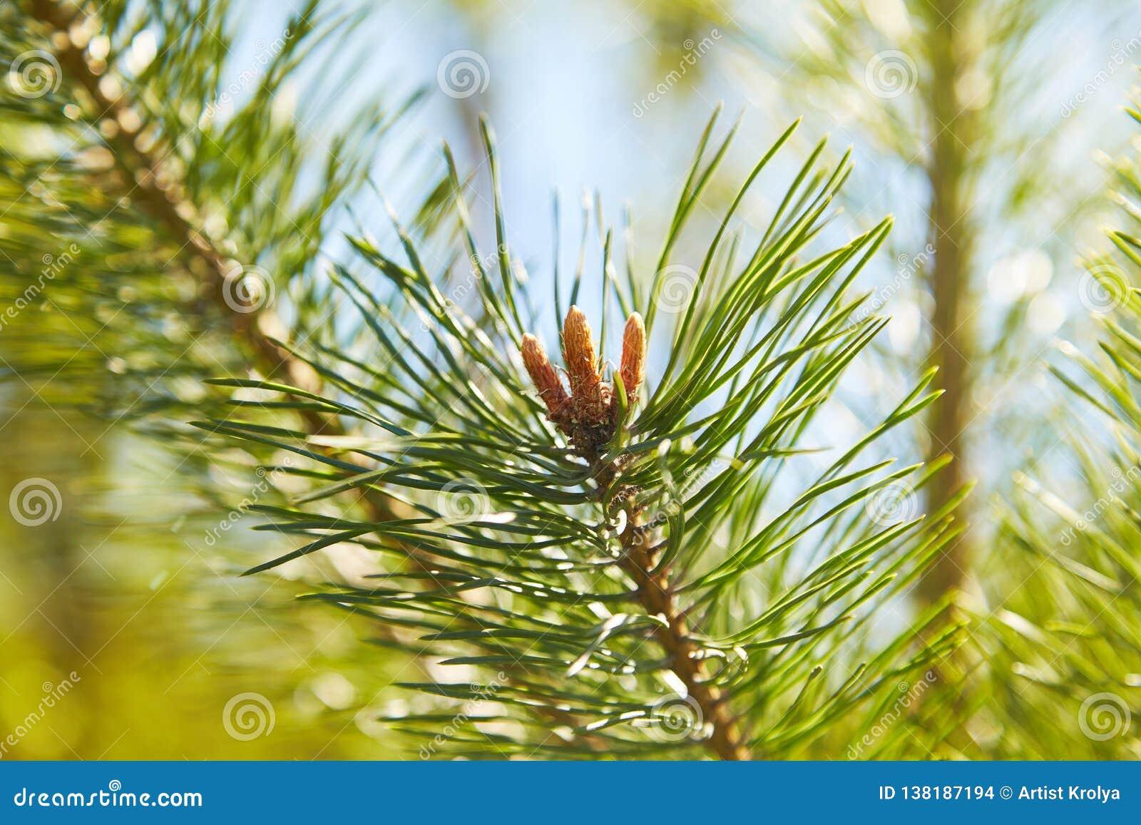Grüne Kiefernniederlassung mit Nadeln und jungen Kegeln