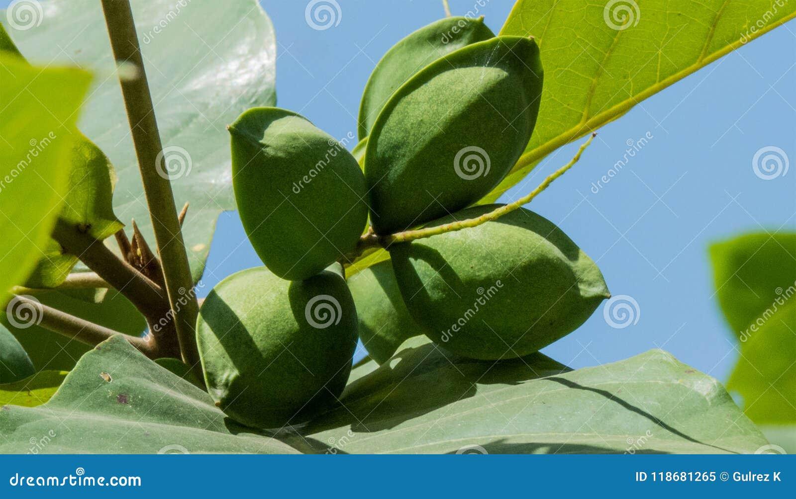 Grüne Mandeln auf Baum-Nahaufnahmeschuß