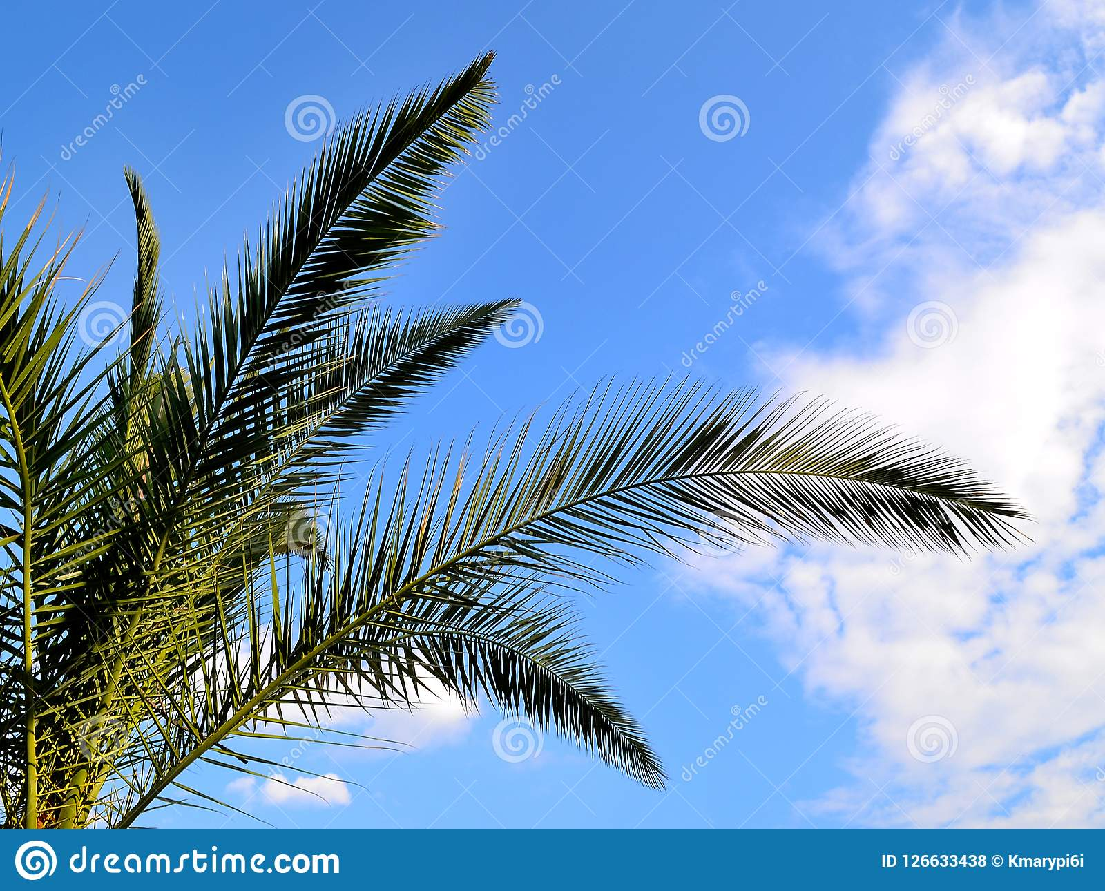 Grüne Niederlassungen der Dattelpalme der Kanarischen Insel gegen einen hellen blauen Himmel