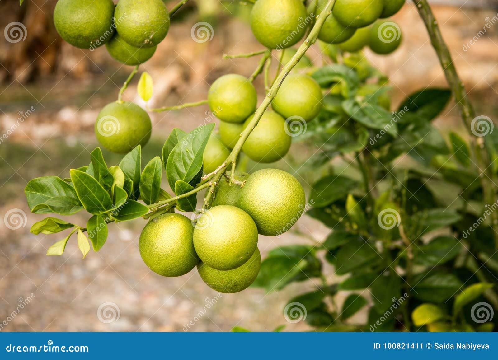 Grüne Orangen, die auf der Niederlassung des Orangenbaums wachsen