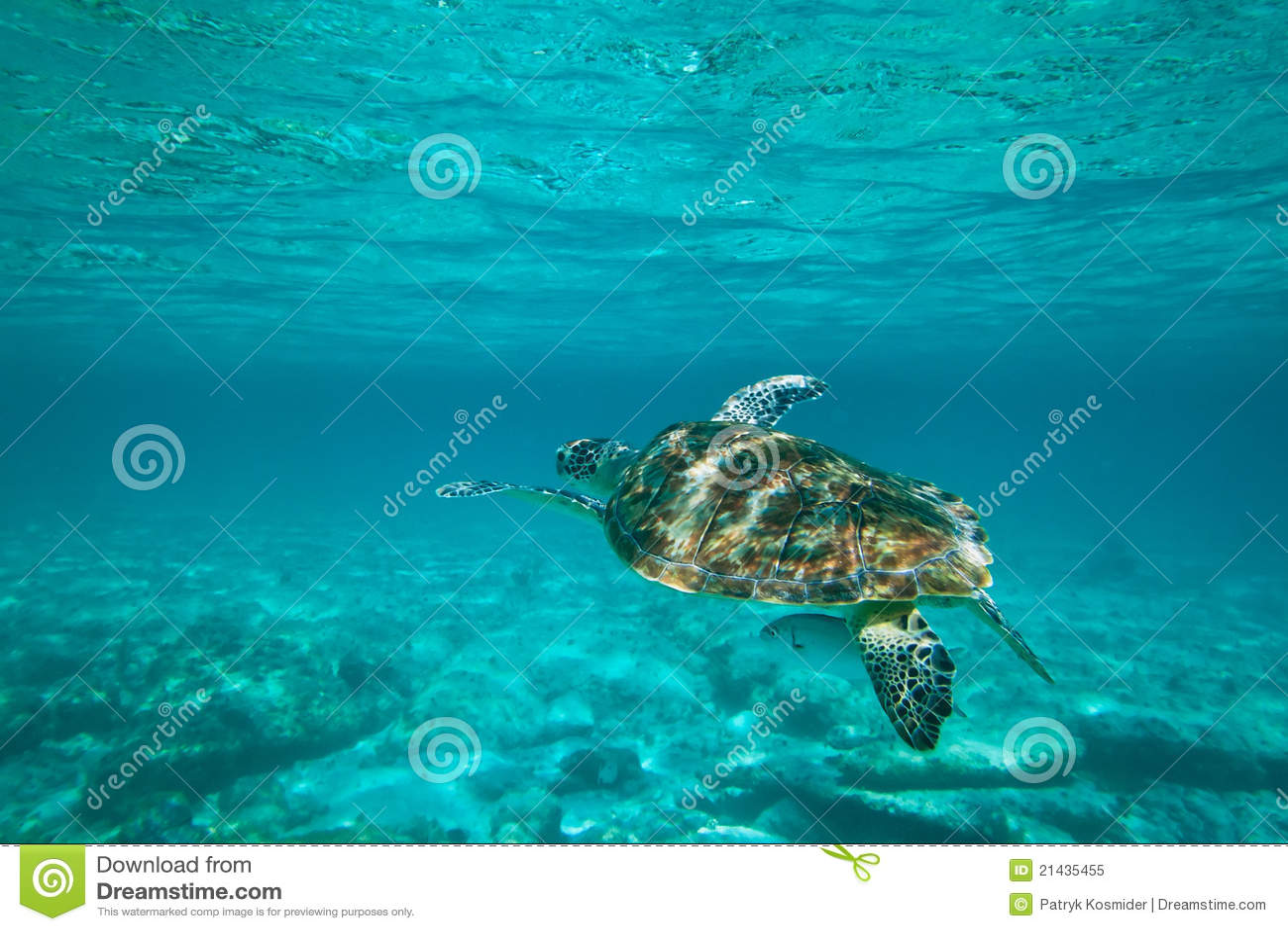 Grüne Schildkröte in der Natur