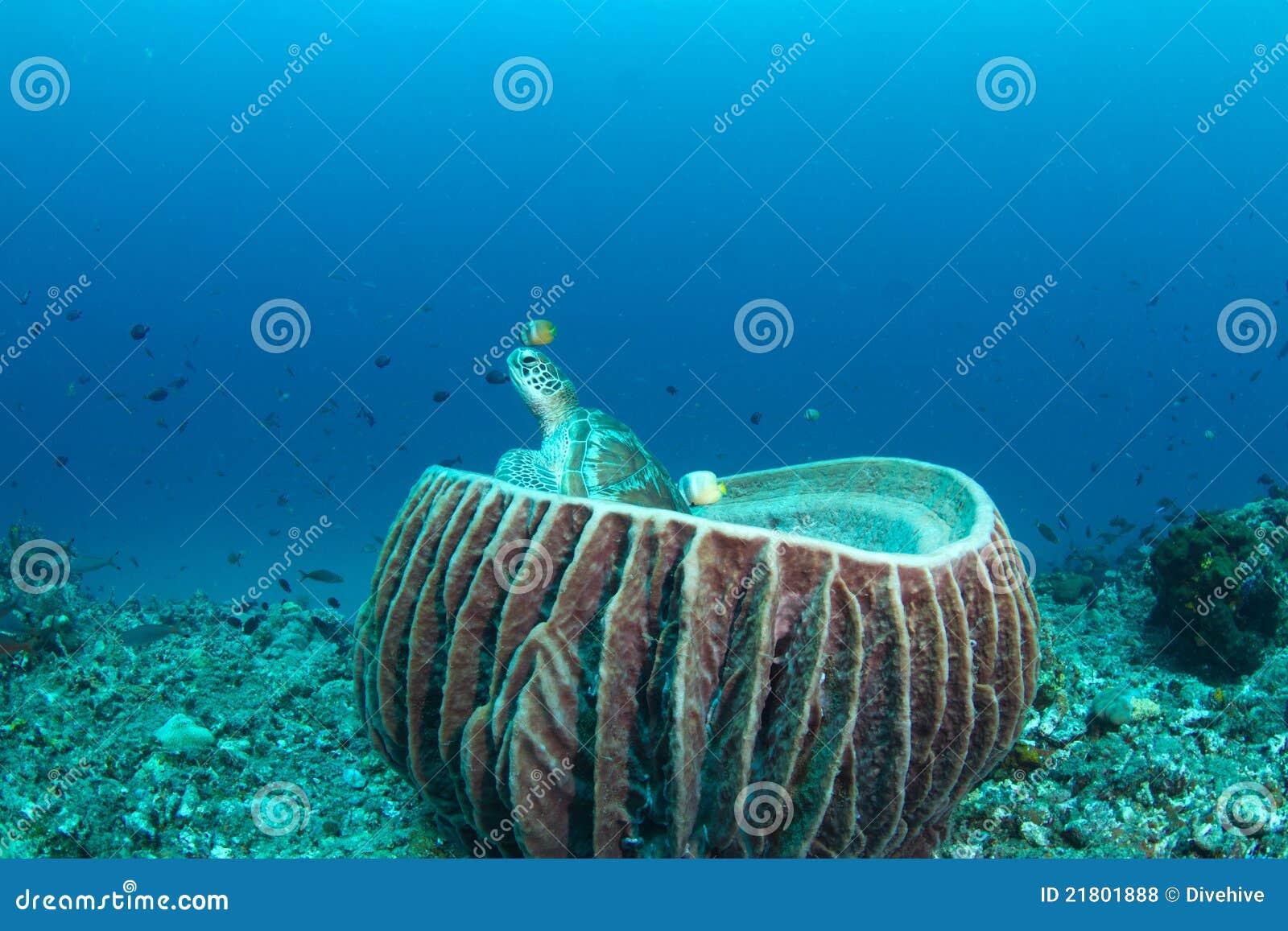 Grüne Schildkröte, die in einem Faßschwamm sitzt