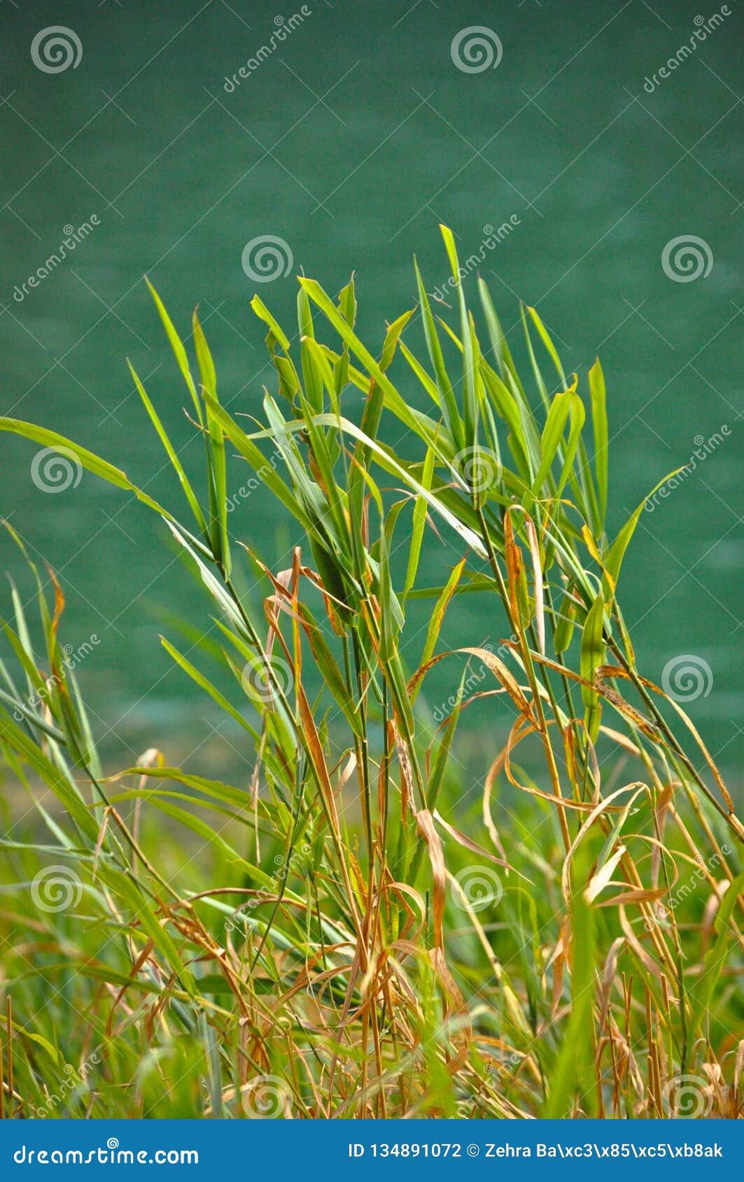 Grüne Schilfe, die ruhig durch den See schaukeln