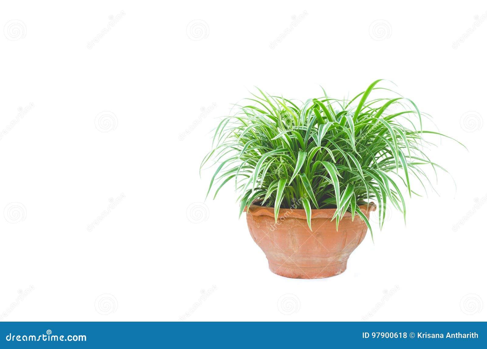 Grüne Topfpflanze, Bäume im Topf lokalisiert auf Weiß