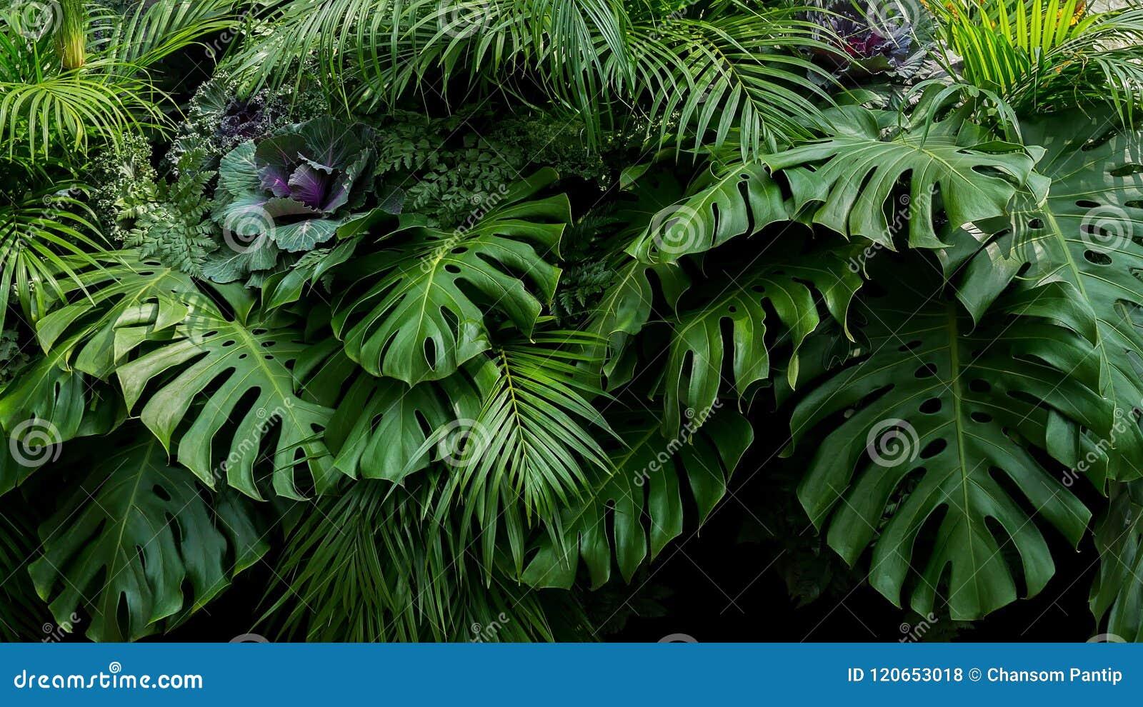 Grüne tropische Blätter von Monstera, von Farn und von Palmwedeln das rai