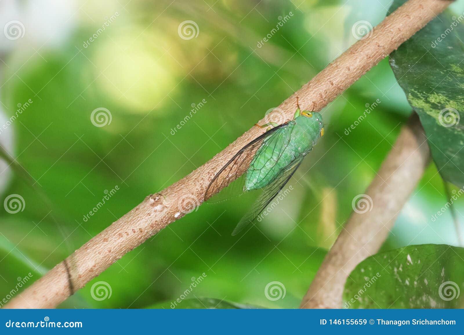 Gr?ne Zikade gehockt auf einem Baumast im Wald