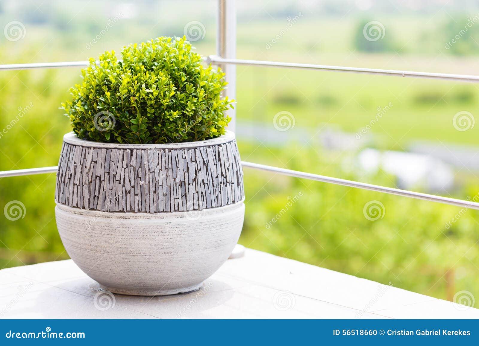 Grüner Buxus Im Keramischen Blumentopf Auf Einem Balkon Stockfoto ...