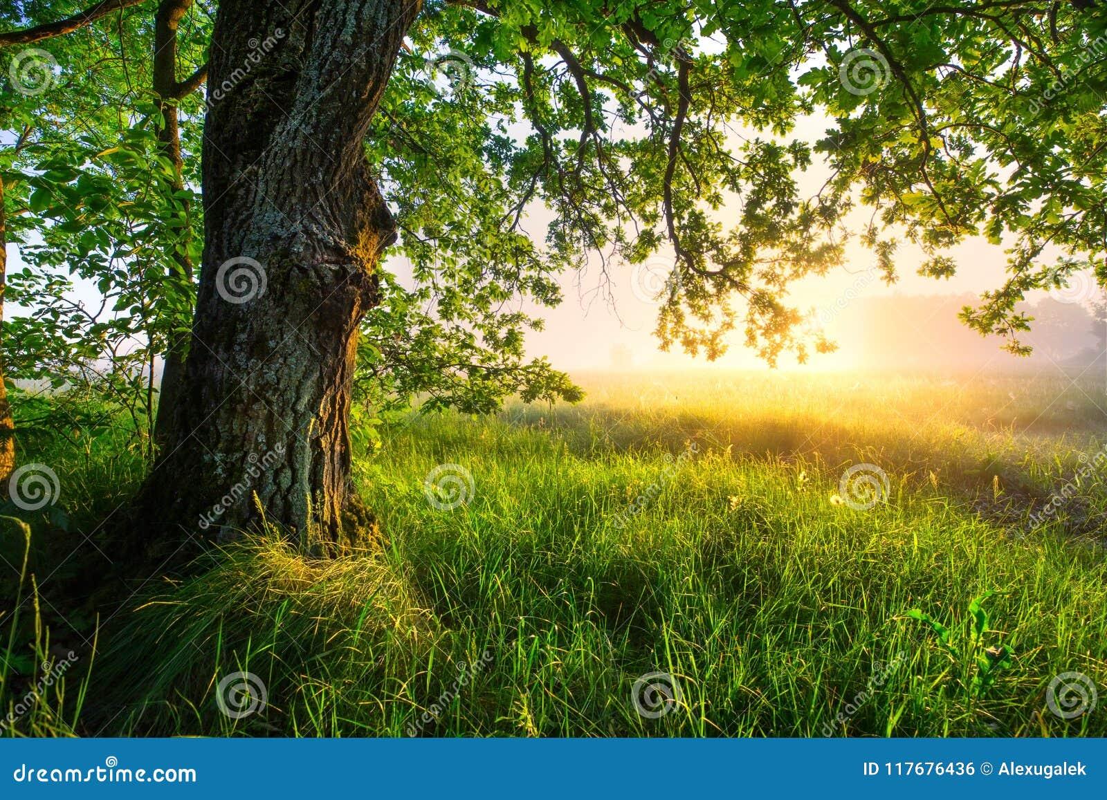 Grüner Eichenbaum morgens Erstaunliche Sommerlandschaft