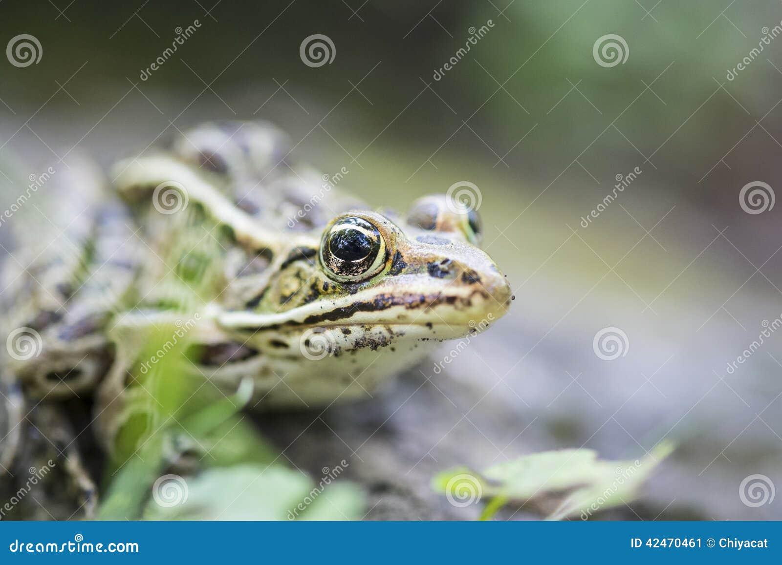 Grüner Frosch-Abschluss herauf #2